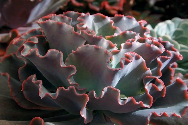 A ruffled hybrid echeveria