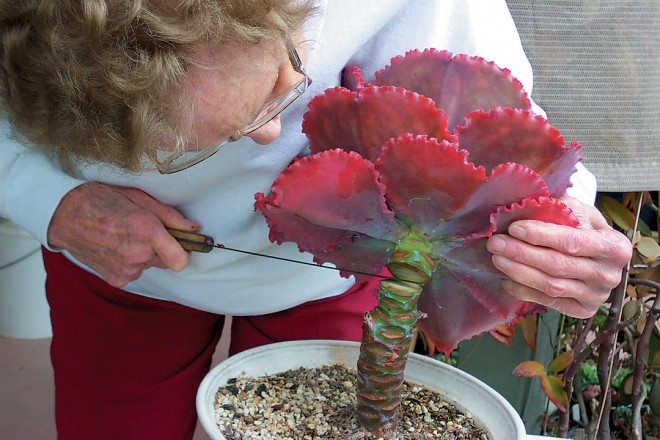 Marylyn Henderson beheading an echeveria