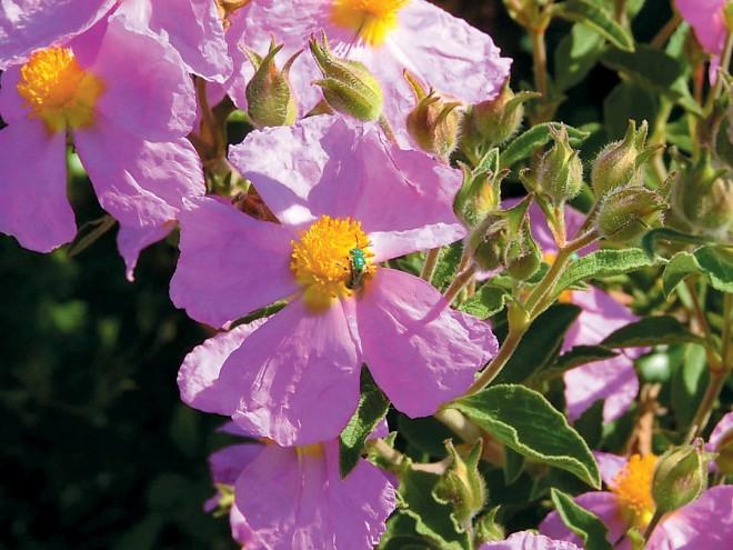 Hoary rockrose (Cistus creticus)