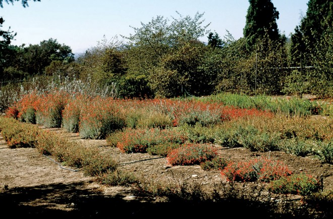 Zauschneria trial beds at Rancho Santa Ana Botanical Garden. Author's photographs