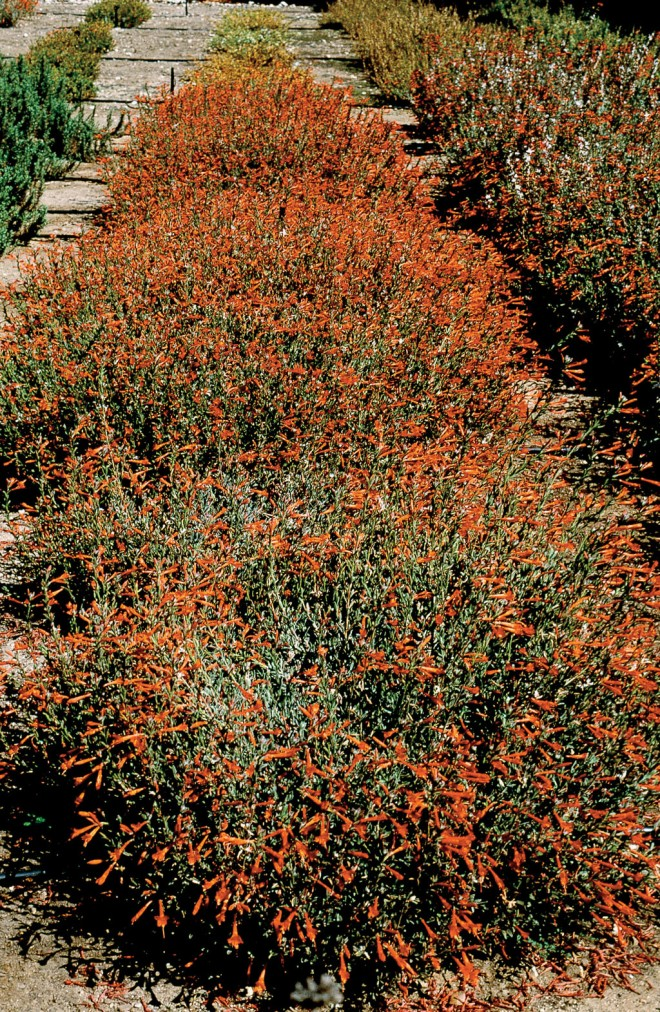 A row of Zauschneria 'John Bixby', voted #1 in the trials