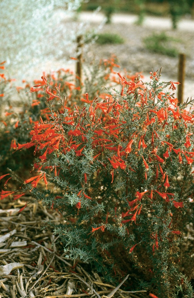 Zauschneria 'Bowman's #1', voted #2 in the trials
