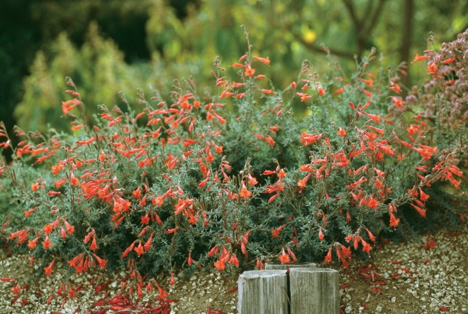 Zauschneria 'Hurricane Point', voted #4 in the trials