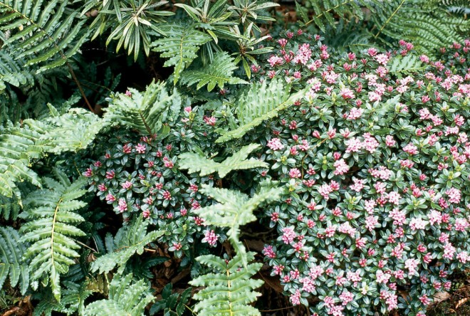 A contrast in textures: complexity and shadowy depths of the fern's foliage; smooth, even, flat texture of the daphne - See more at: http://www.pacifichorticulture.org/articles/making-gardens-seem-bigger-part-ii/#sthash.UkjxOBix.dpuf