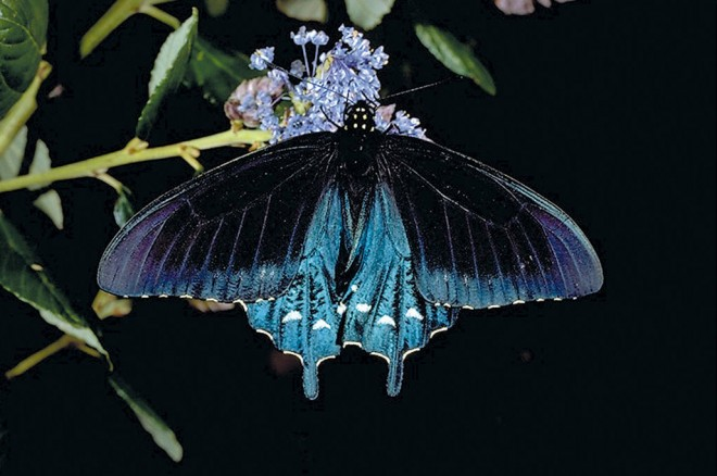 California pipevine swallowtail butterfly (Battus philenon). Photograph by TW Davies, courtesy www.calphoto.com