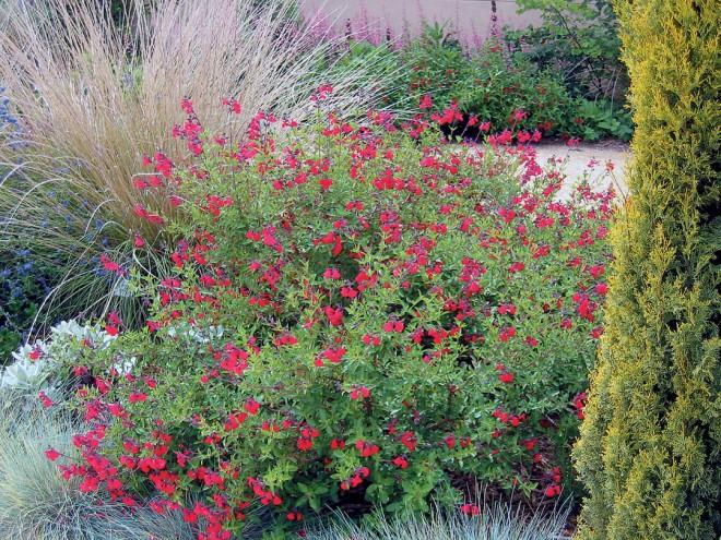 Autumn sage (Salvia greggii)