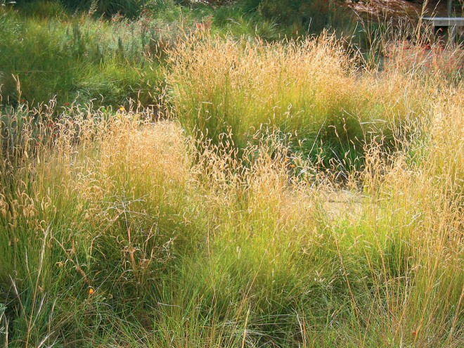 Blue grama grass (Bouteloua gracilis)