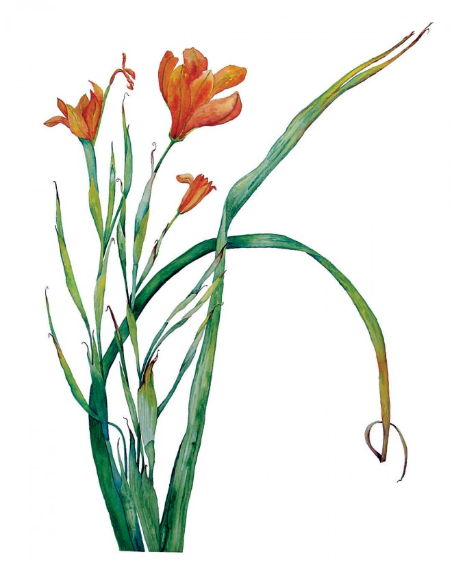 Cape tulip (Homeria breyniana). Original artwork by Mary L Harden
