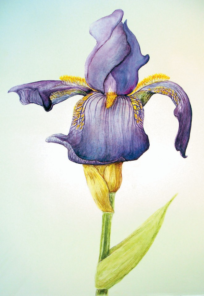 Bearded iris (Iris sp). Original artwork by J Charmain Giuliani