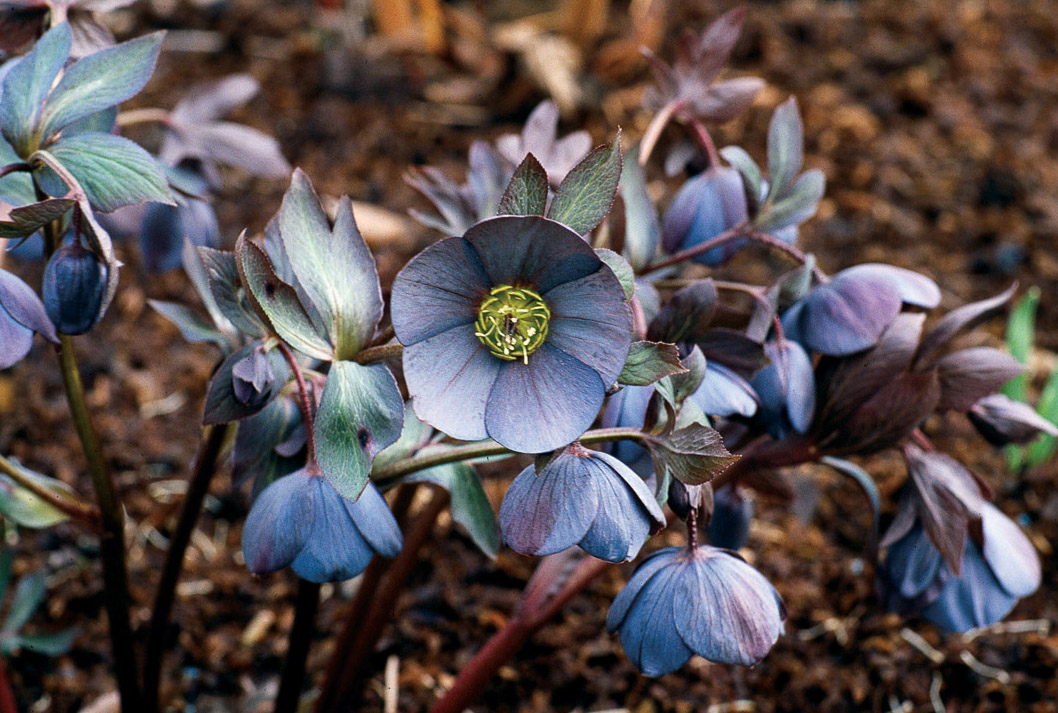 Pacific Horticulture Society Not Your Mother S Hellebores A New