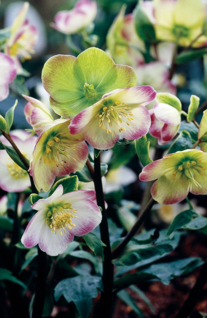 'Briar Rose', a hybrid of Helleborus niger and H. vesicarius. Photograph by Richard Tyler