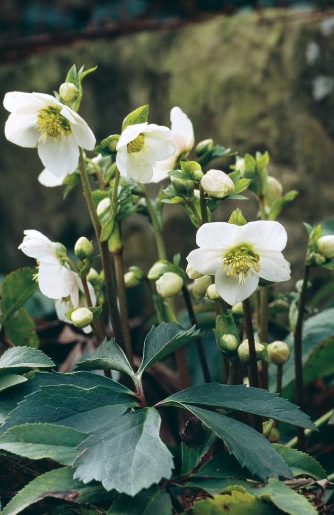 'Snow White', a hybrid of a white- flowered selection of Helleborus x hybridus and H. niger
