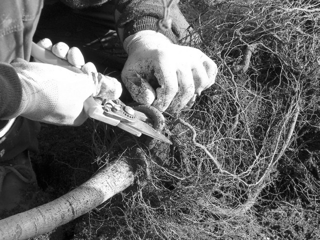 Removing a girdling root at the bend