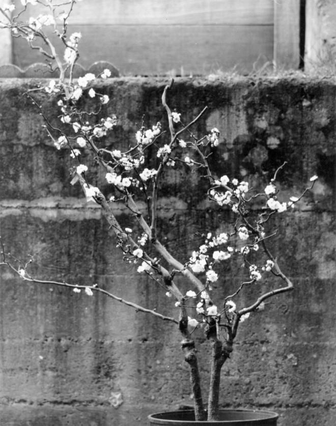 Prunus mume 'Koten Bai', a contorted cultivar