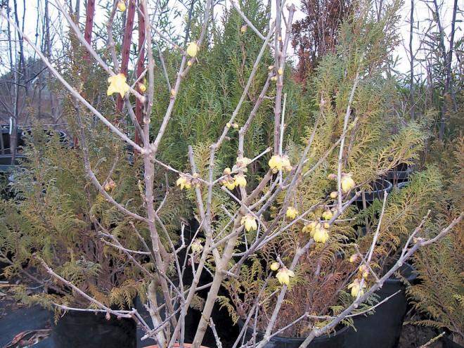 Wintersweet (Chimonanthus praecox)