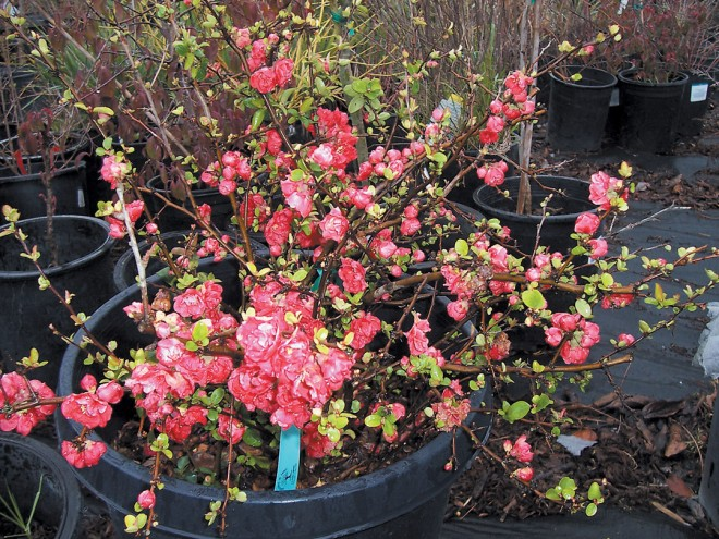 A flowering quince (Chaenomeles 'Falconet Charlot')