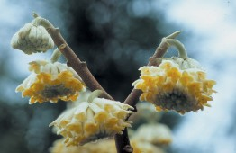 Japanese paper bush (Edgeworthia chrysantha). Photograph by Richie Steffen