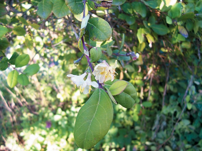 Lonicera fragrantissima. Author's photographs, except as noted