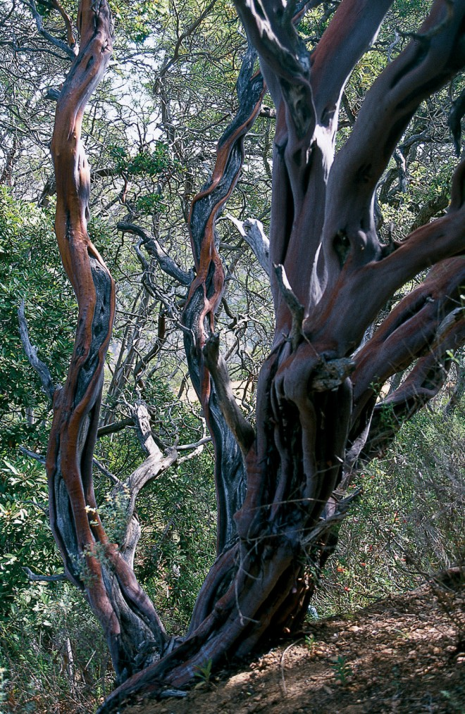 Sinewy trunks of Arctostaphylos insularis on Santa Photographs by Carol BornsteinCruz Island