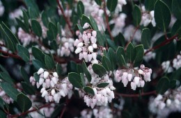 Typical manzanita flowers