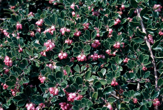 'Lillian's Pink', a selection of Arctostaphylos uva- ursi