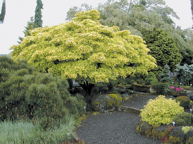 Golden full-moon maple Acer shirasawanum 'Aureum' (LT)