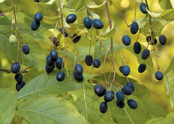 Fruit of American fringe tree Chionanthus virginicus (AD)
