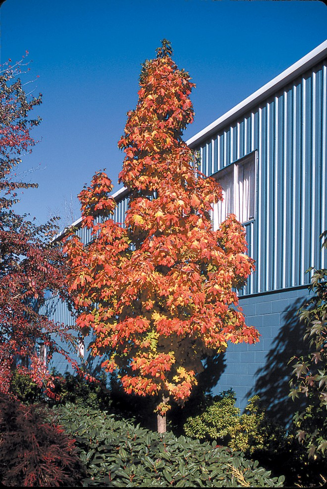 Acer saccharum APOLLO 'Barret Cole' in autumn (FS)