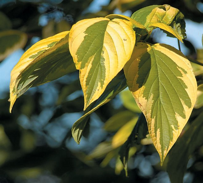 Golden-twig dogwood Cornus sericea 'Hedgerows Gold' (DM)