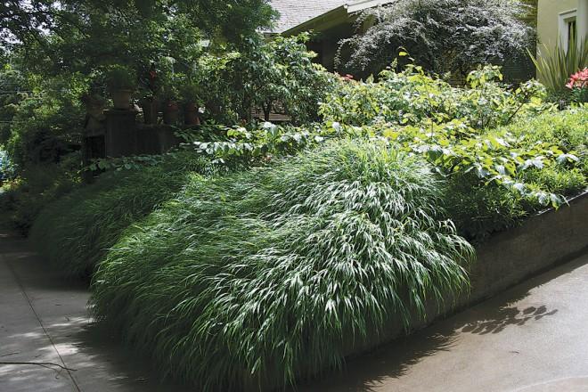 Japanese forest grass Hakonechloa macra (RS)