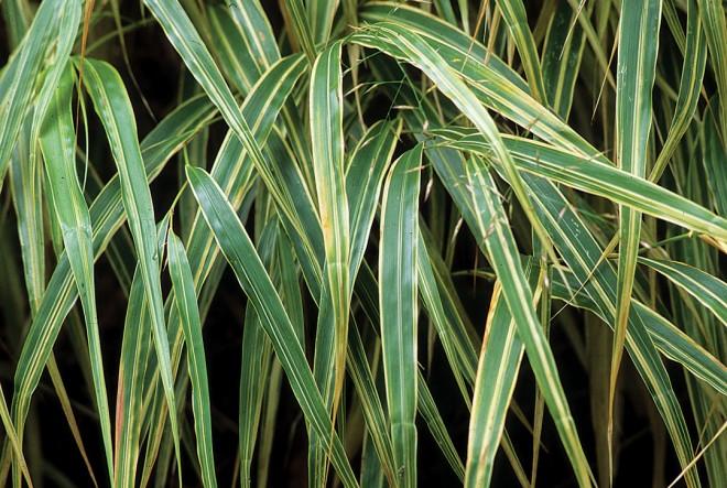 Variegated Japanese forest grass Hakonechloa macra 'Albostriata' (RS)