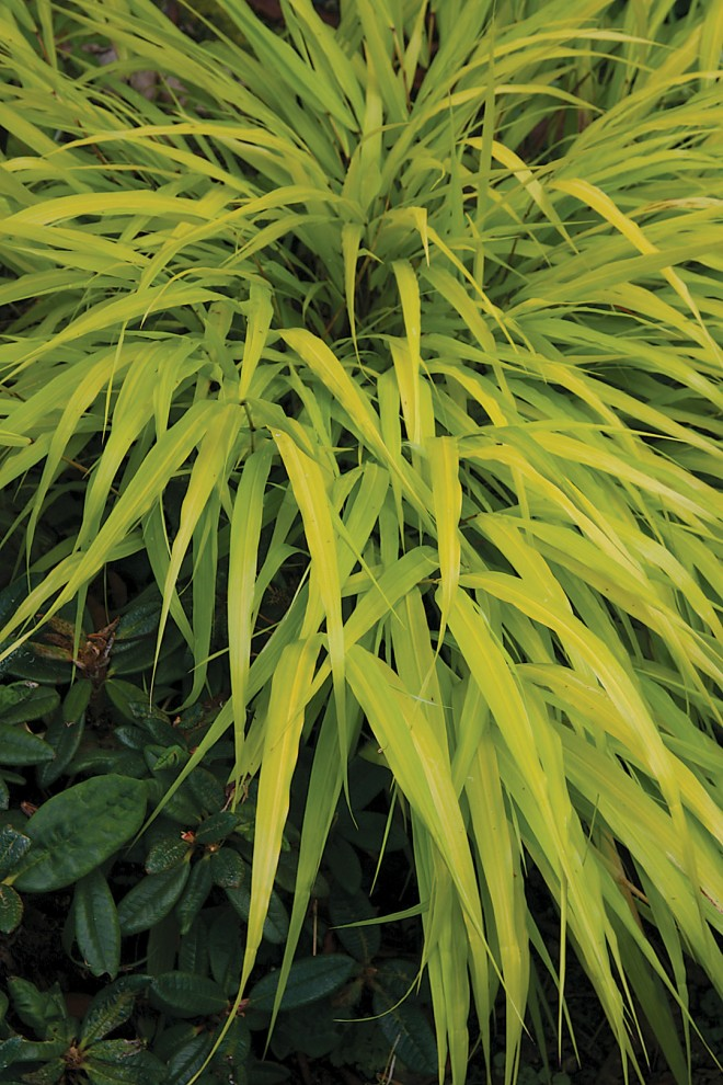 Golden Japanese forest grass Hakonechloa macra 'All Gold' (RS)