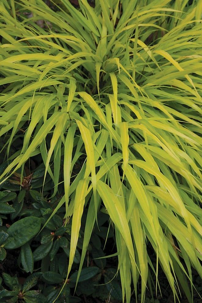 Golden Japanese forest grass Hakonechloa macra 'All Gold' (RS)