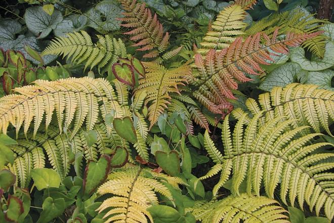 Wood fern Dryopteris lepidopoda (RS)
