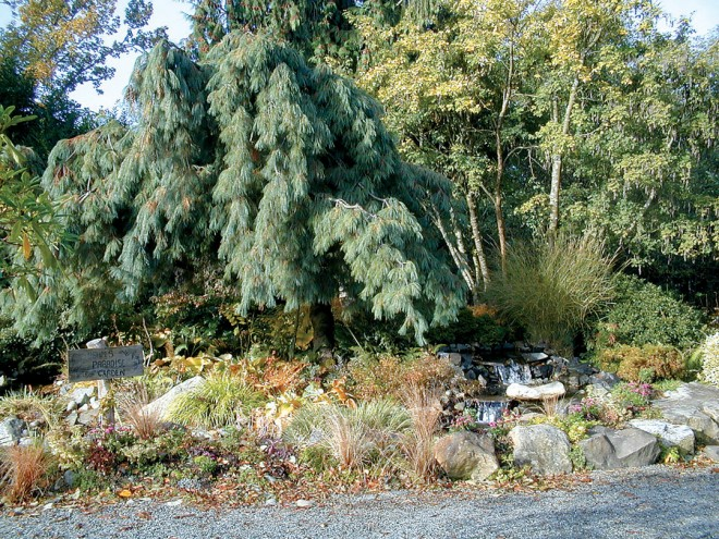 The weeping white pine (Pinus strobus 'Pendula') in its new home at the Highline SeaTac Botanical Garden