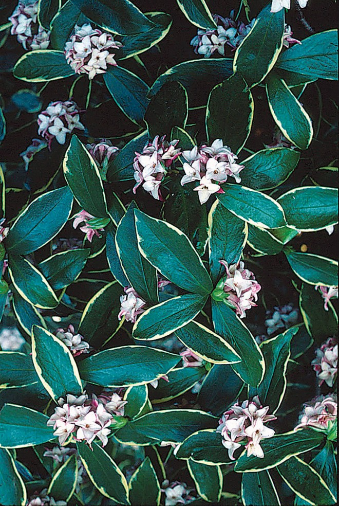 Winter daphne (Daphne odora 'Aureomarginata'). Photograph by Saxon Holt - See more at: http://www.pacifichorticulture.org/articles/the-central-valley-garden-in-winter/#sthash.QDbbYBhE.dpuf