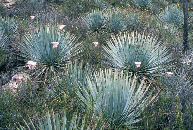 A natural drift of Calochortus venustus against a mass of glaucous Our Lord's candle (Hesperoyucca whipplei) on Figueroa Mountain - See more at: http://www.pacifichorticulture.org/articles/the-native-gardener8217s-paintbox-green/#sthash.0FRtKPtq.dpuf
