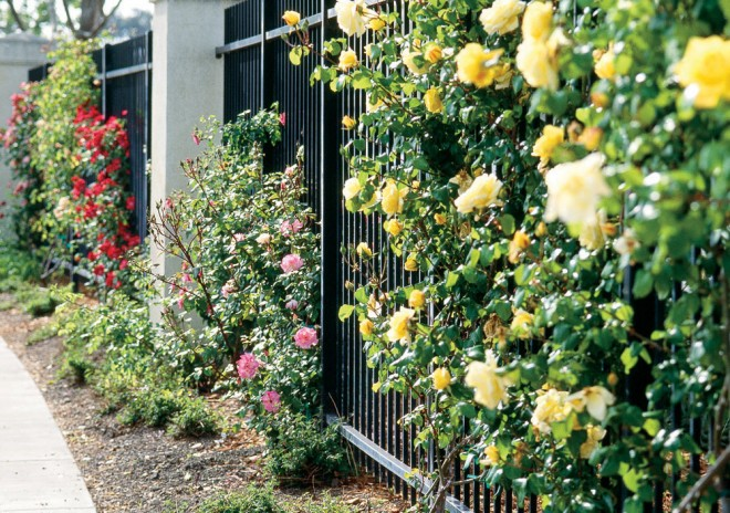 Rosa 'Cl. Joanna Hill' on the Santa Clara University fence - See more at: http://www.pacifichorticulture.org/articles/santa-clara-university8217s-wall-of-climbing-roses/#sthash.QnNcMojZ.dpuf