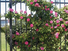 Rosa 'Follette' on the Santa Clara University fence - See more at: http://www.pacifichorticulture.org/articles/santa-clara-university8217s-wall-of-climbing-roses/#sthash.QnNcMojZ.dpuf