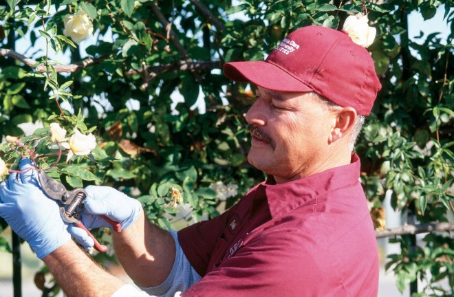 David Perez, gardener for the Santa Clara University One-Half Mile Climbing Rose Fence, with Rosa 'Pax' - See more at: http://www.pacifichorticulture.org/articles/santa-clara-university8217s-wall-of-climbing-roses/#sthash.QnNcMojZ.dpuf
