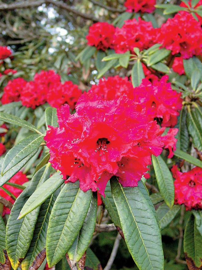 Rhododendron arboreum becomes a small tree; widespread in India and Southeast Asia. Photographs courtesy Mendocino Coast Botanical Gardens