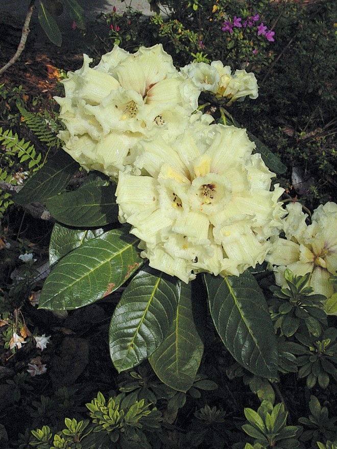 Rhododendron macabeanum is a small tree, with dense racemes of twelve to thirty flowers; northeastern India