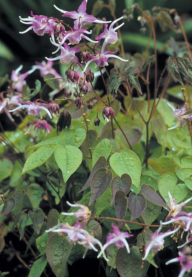 Epimedium grandiflorum 'Tama-no-genpei'