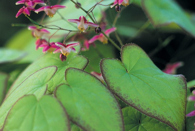 Epimedium 5 rubrum 'Sweetheart'