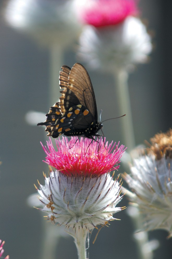 A pipevine swallowtail butterfly rests on the broad head of cobwebby thistle (Cirsium occidentale) as it feeds on nectar
