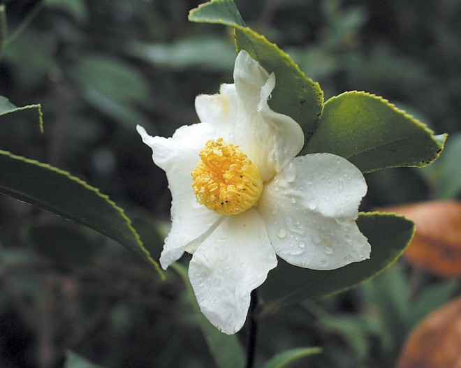 Camellia oleifera. Photograph by Gene Phillips