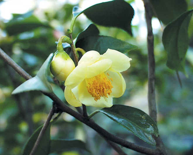 Camellia tunghinensis. Photograph by Gene Phillips