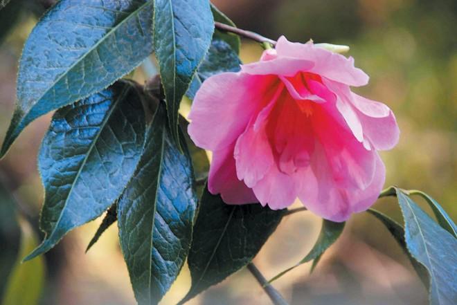 Camellia 'Shanghai Lady'