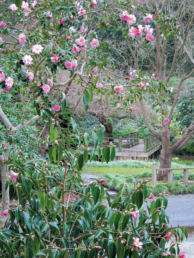 Pink flowers of Camellia 'Glenn's Orbit' (above) and C. xifongensis (below) frame a view from the new Camellia Species Garden into the long-established Moon Viewing Garden. Photograph by RGT - See more at: http://www.pacifichorticulture.org/articles/a-half-century-of-camellias-find-a-new-home/#sthash.NFMsH7Ts.dpuf