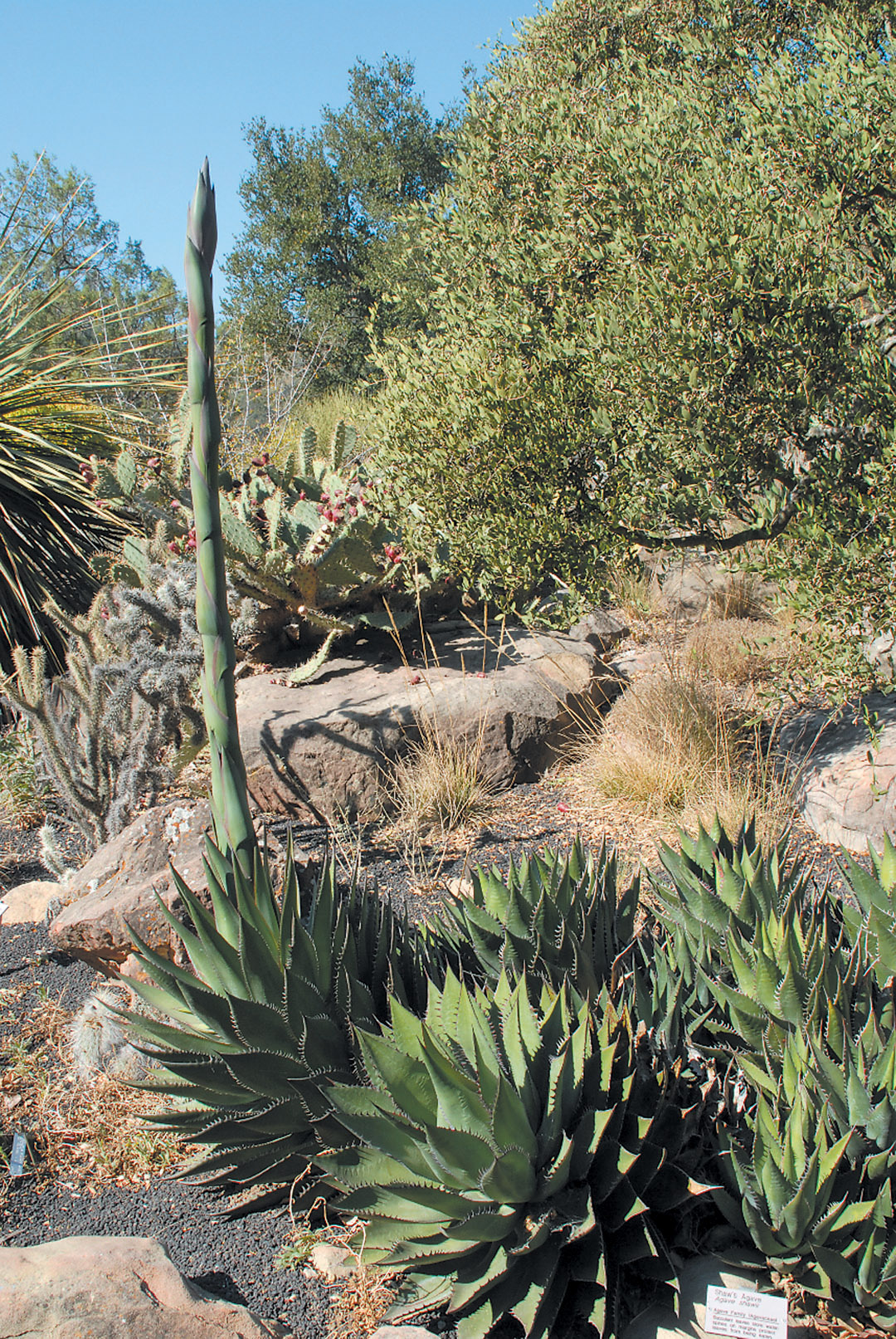 Pacific Horticulture Society Cacti Agaves And Yuccas Of